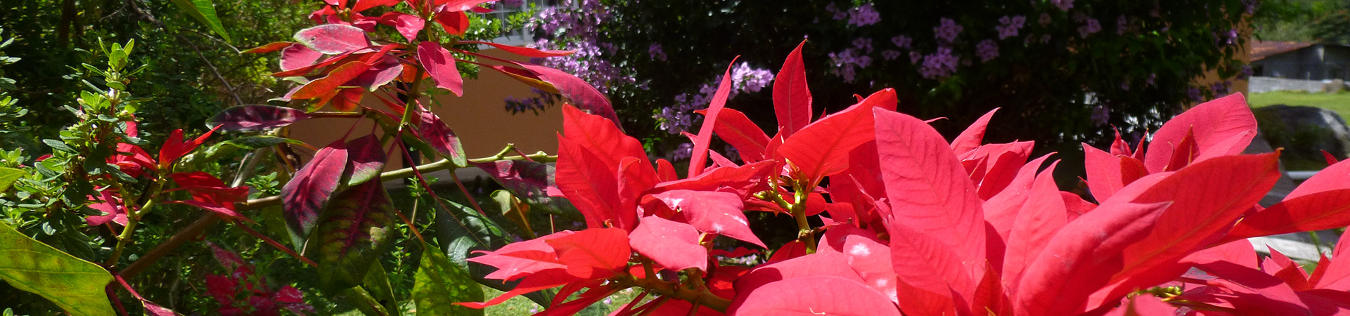Beautiful-Pointsettias-at-Casa_panama.jpg.1920x450_default